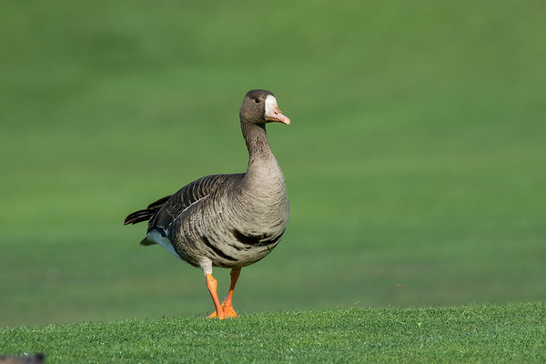 Greater white-fronted Goose - One of our prettier geese, it was great to catch it in evening light.  Sp 144