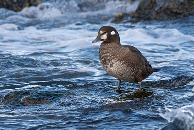Harlequin Duck - Female   Species number 73 for the year.  Today was a quick stop down at Cloverpoint for Harlequin Ducks, Black Oystercatcher and a lone Herring Gull.   The surf was huge so was unable to get down to water level, so these were taken from the top of the sea wall.