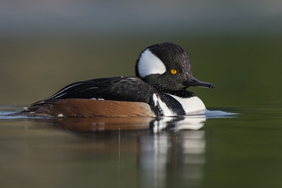 Hooded Merganser -Male