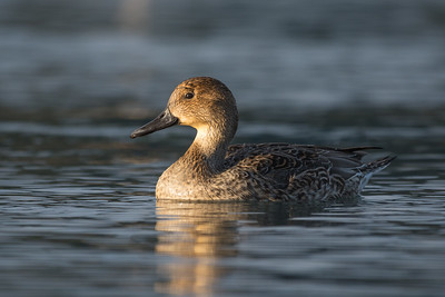 Northern Pintail - female