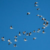 Snow Geese- a passing flock of snow geese a few quick pics for Sp 135