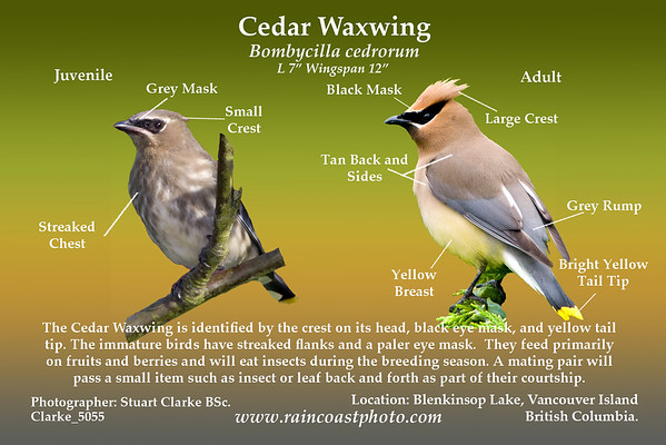 Cedar Waxwing Bombycilla cedrorum The Cedar Waxwing is identified by the crest on its head, black eye mask, and yellow tail tip. The immature birds have streaked flanks and a paler eye mask.  They feed primarily on fruits and berries and will eat insects during the breeding season. A mating pair will pass a small item such as insect or leaf back and forth as part of their courtship.