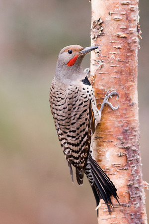 Northern Flicker  (Red Shafted)  Colaptes auratus  These large woodpeckers inhabit most of  North America except for the extreme North.  They are present in two colour forms, the  Red-shafted in the West and the  Yellow-shafted in the East, with a substantial  overlapping of ranges. They typically lay  6-8 white eggs in a tree cavity or vacant  bird house