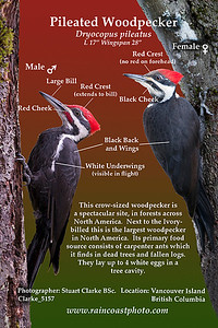 Pileated Woodpecker Dryocopus pileatus This crow-sized woodpecker is a spectacular site, in forests across North America.  Next to the Ivory- billed this is the largest woodpecker in North America.  Its primary food source consists of carpenter ants which it finds in dead trees and fallen logs. They lay up to 4 white eggs in a  tree cavity.