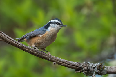 Red-brested Nuthatch