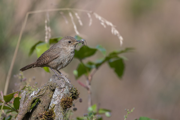 House Wren with breakfast for the little ones.