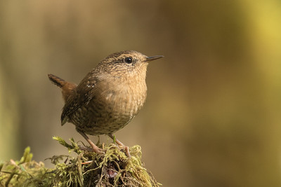 Cornell's All About Birds is using a copy of this photo for their Pacific Wren page :)