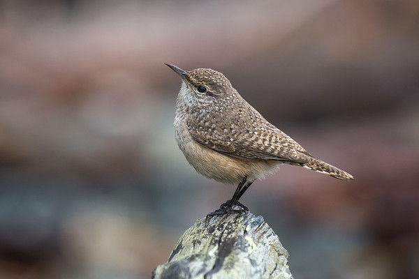 Rock Wren - well a second run up to Nanaimo today we had success finding the Rock Wren.  It does help your search when the wind isn't blowing the rain sideways.   Only my second time shooting them on the island so was very happy with the poses it gave .   Species 177 photographed for the year