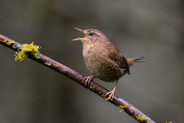 Pacific Wren - One of the objectives of my Big Year is not just to photograph but get good photos of each species.  The Pacific Wren is a very tough species to shoot, seeing as they like to live in the deepest darkest parts of our Pacific Northwest forests.   This male gave me a few good poses, but not on any great perches, this is my favourite from today but still not quite what I am looking for, hopefully it won't be too wet tomorrow to try again.