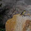 Yellow rumped warbler (Audubon)