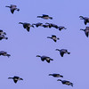 Cackling & Aleutian Geese in flight