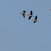 White-fronted Geese in flight