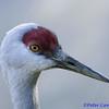 Sandhill Crane closeup 4