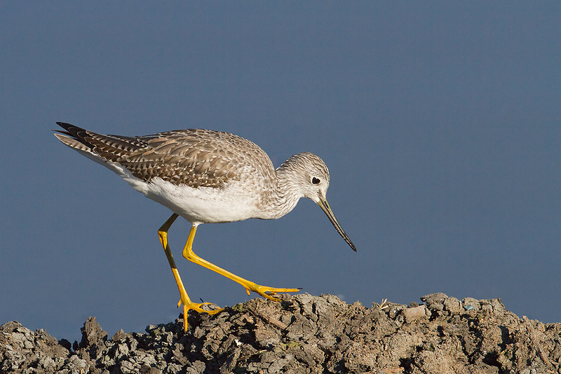 Greater Yellowlegs, adult non-breeding plumage