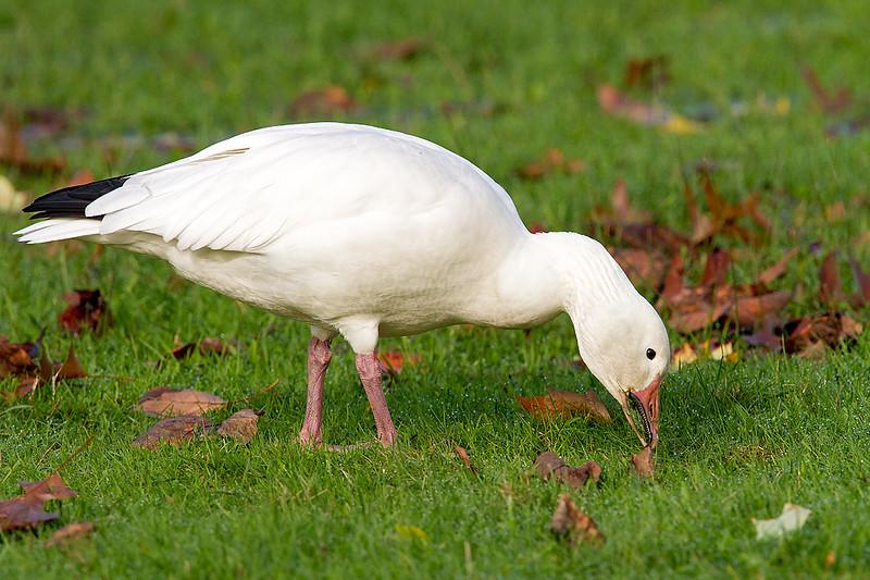 Snow Goose, adult