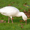 Snow Goose, adult