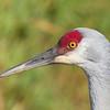 Sandhill Crane closeup 3
