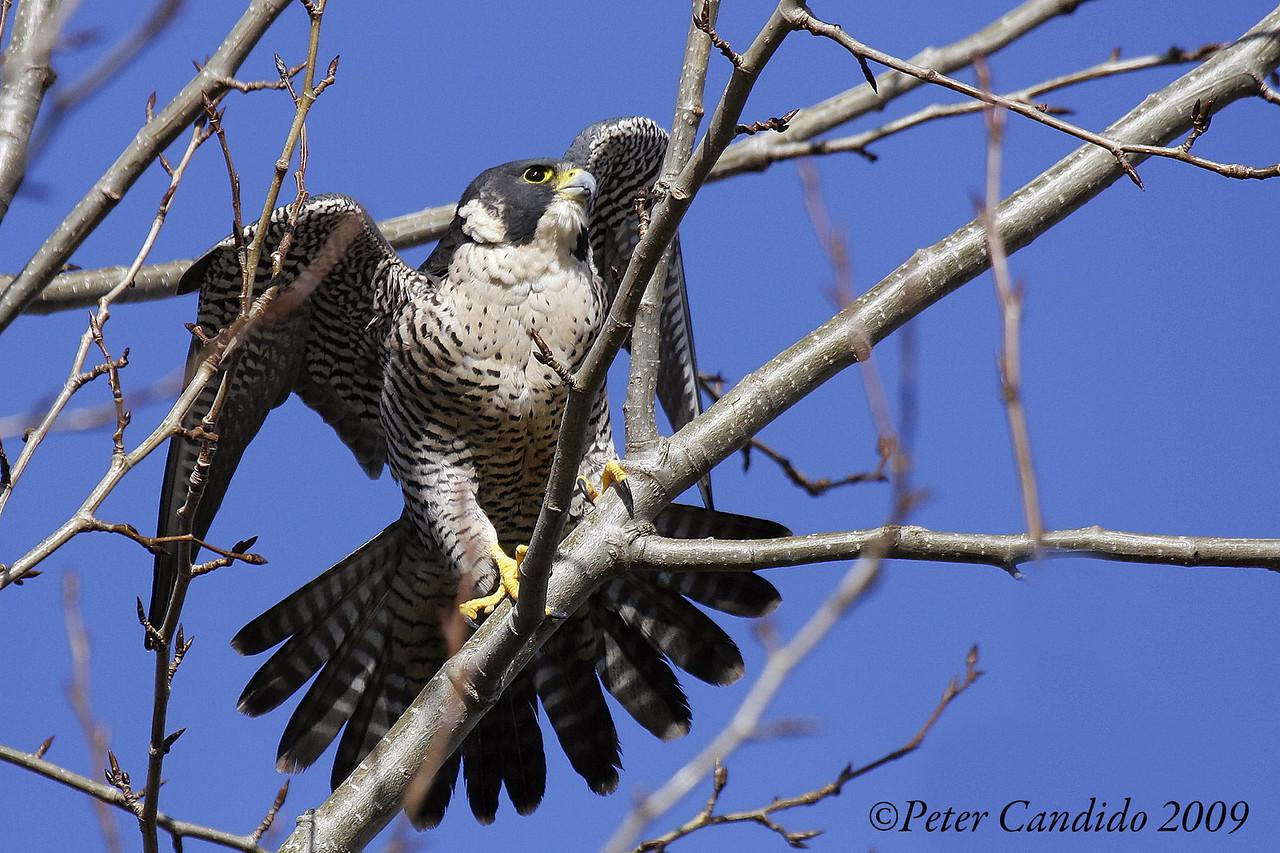 Peregrine Falcon, adult