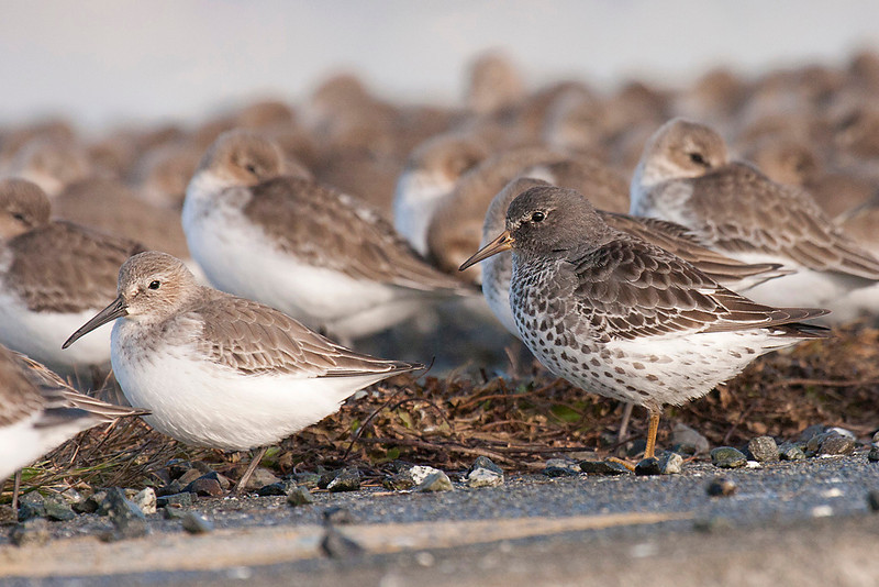 Rock Sandpiper (R) with Dunlin (L) and behind