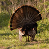 Wild Turkey, male displaying