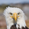 Bald Eagle closeup 2