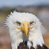 Bald Eagle closeup 2