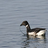 Brant feeding on eelgrass