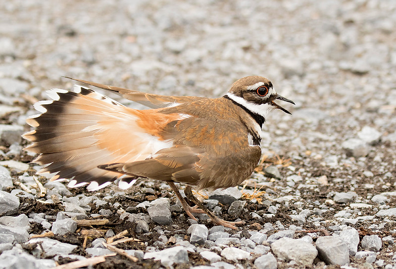 Killdeer performing a distraction display near a nest containing three eggs