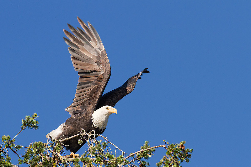 Bald Eagle, adult on takeoff