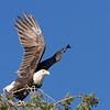 Bald Eagle, adult on takeoff