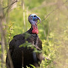 Wild Turkey, male