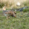Sharp-tailed Grouse, male displaying