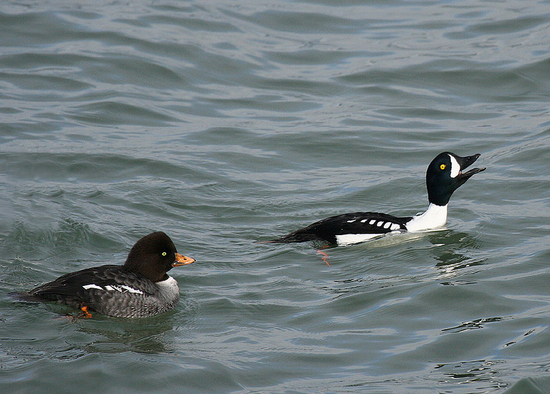 Barrow's Goldeneye, female and courting male