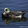 American Wigeon, male