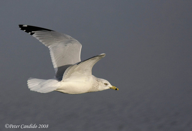 Ring-billed Gull, winter plumage