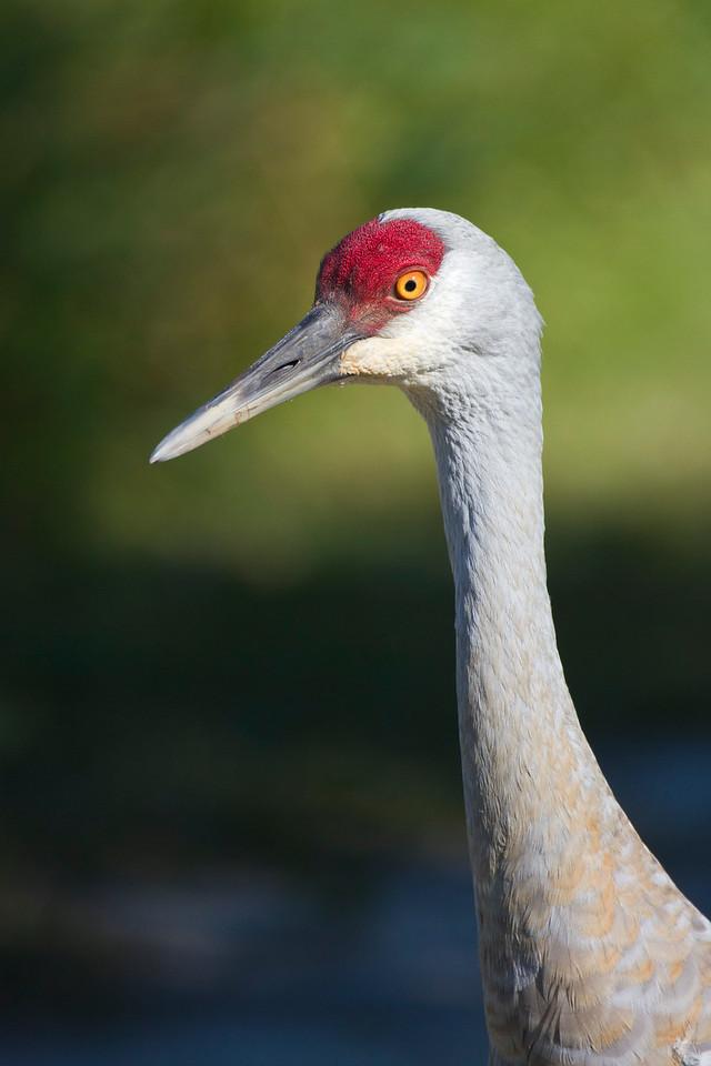 Sandhill Crane closeup 1