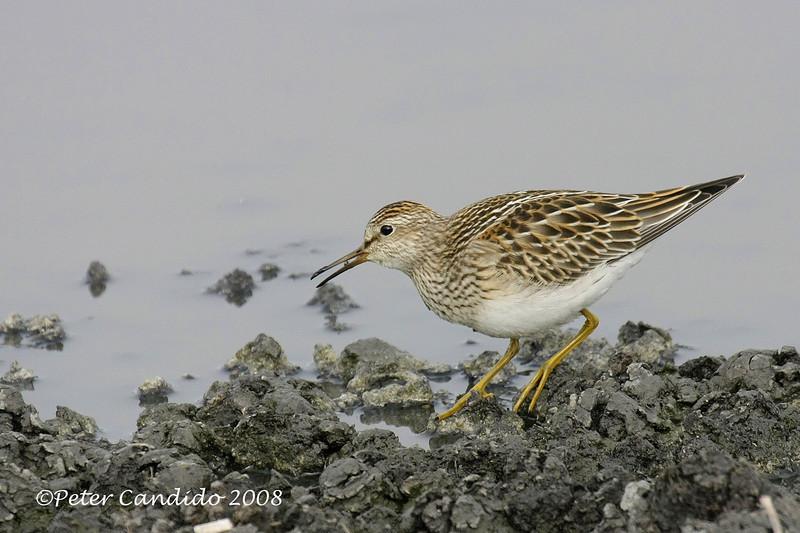 Pectoral Sandpiper, juvenile