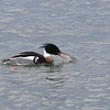 Red-breasted Merganser, male swallowing fish