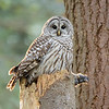 Barred Owl with freshly caught rat