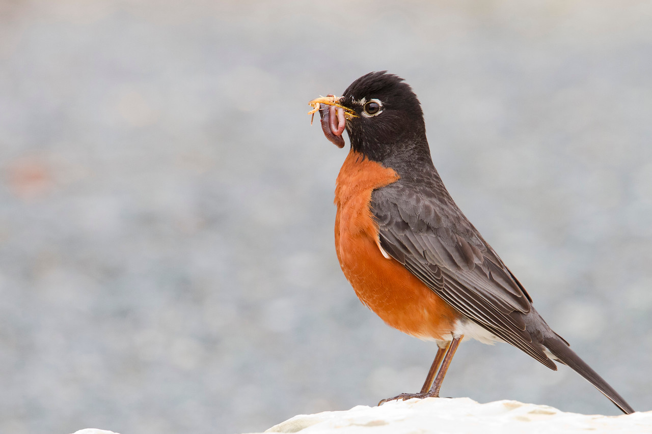 American Robin  carrying food for young