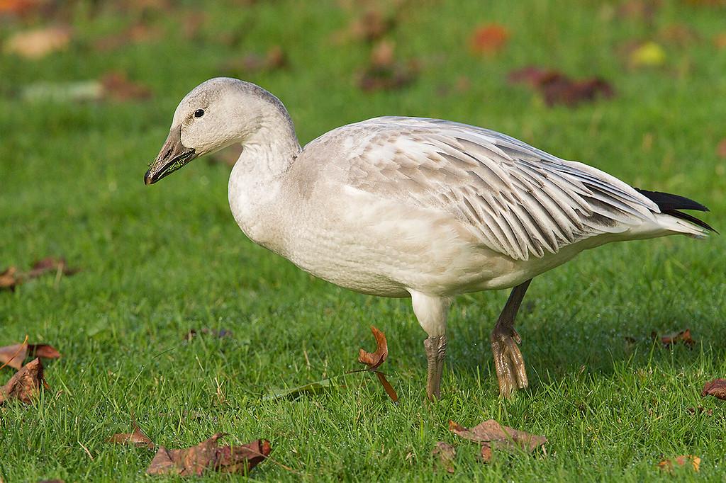 Snow Goose, immature