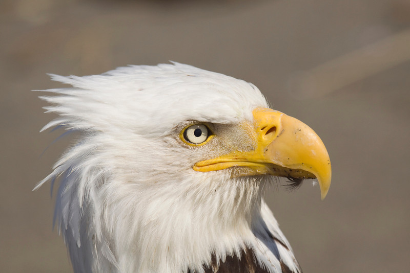 Bald Eagle closeup 1