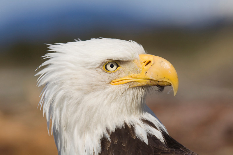 Bald Eagle closeup 3