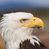 Bald Eagle closeup 3