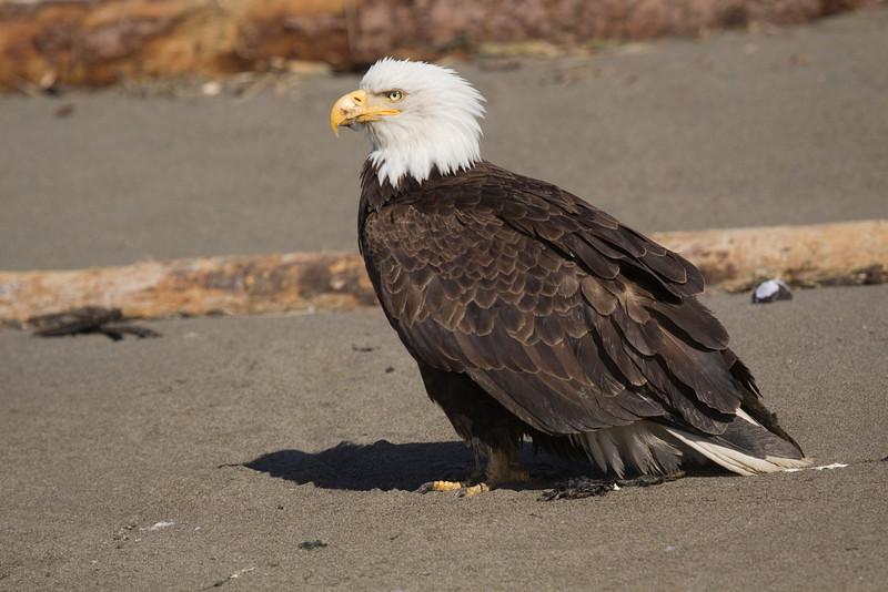 Bald Eagle on beach