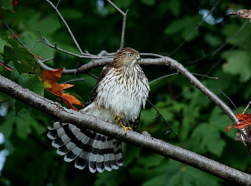 Cooper's Hawk, juvenile