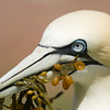 Northern Gannet male with an offering for  its mate at the nest