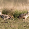 Sharp-tailed Grouse, faceoff between rivals