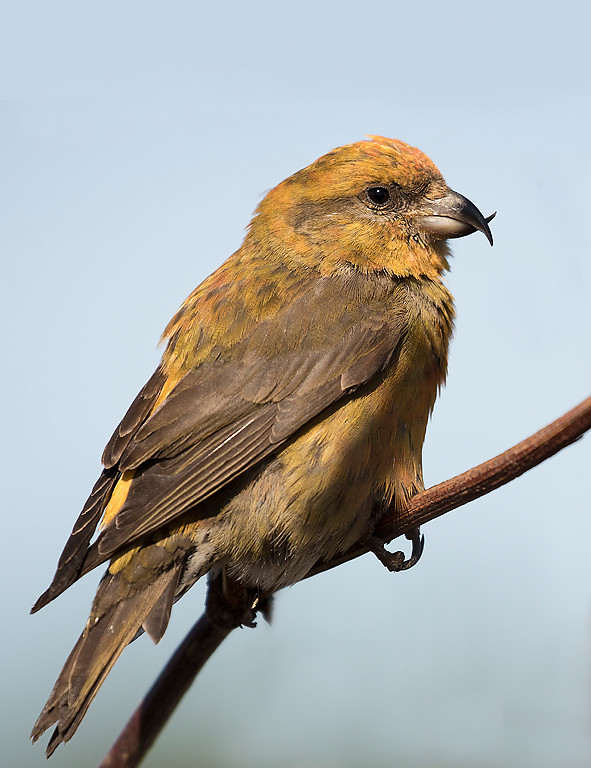 Red Crossbill, first year male