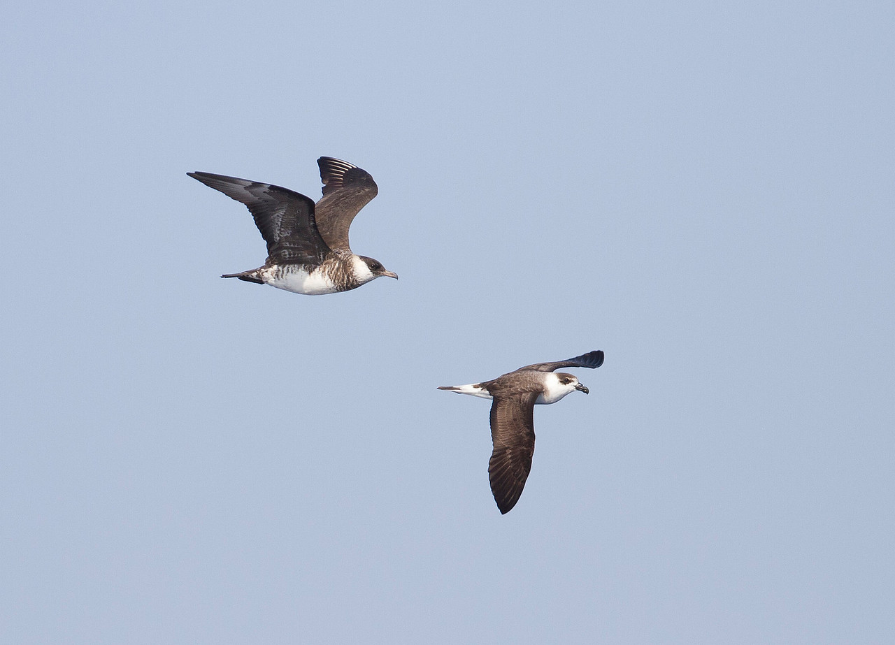 Pomarine Jaeger and Black-capped Petrel